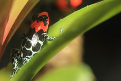 Blessed poison frog Stock Images