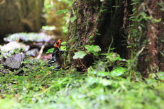 Blessed poison frog. At a tree royalty free stock photo