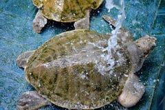 Blessez les tortues images libres de droits