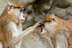 Blessing monkey. Blessing to the monkey ,Collared mangabeys ( Cercocebus torquatus torquatus Stock Image