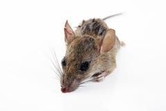 Blessure de rat Images libres de droits