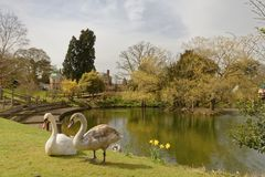 Bletchley park, spring swans in the park. Bletchley park pond in spring with good natural light and two swans on the bank, milton keynes, england, uk royalty free stock photos