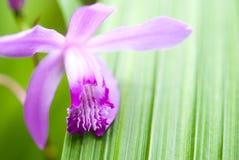 Bletilla striata Blume Lizenzfreie Stockfotografie