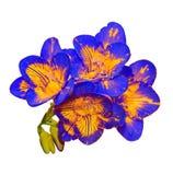Bleu avec la fleur jaune de freesia, bourgeons verts, d'isolement Photographie stock libre de droits