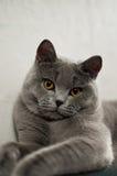 Bleu britannique de Shorthair de race de chat Images libres de droits
