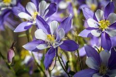 Bleu Columbines de fleur d'état du Colorado Image stock