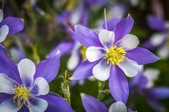 Bleu Columbines de fleur d'état du Colorado Images stock