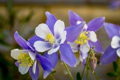 Bleu Columbines de fleur d'état du Colorado Photo libre de droits