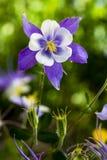 Bleu Columbines de fleur d'état du Colorado Photographie stock