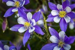 Bleu Columbines de fleur d'état du Colorado Image libre de droits