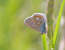 Bleu commun Photos stock