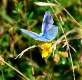 Bleu commun Photographie stock libre de droits