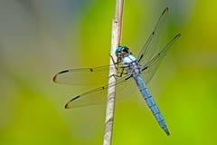 Bleu Dasher de libellule photo libre de droits