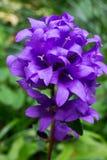 Bleu de belltower de jacinthe des bois Photographie stock
