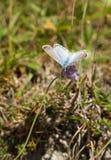 Bleu de Chalkhill, coridon de Lysander photographie stock libre de droits