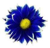 Bleu de chrysanthème Fleurissez sur le fond blanc d'isolement avec le chemin de coupure sans ombres Plan rapproché Pour la concep Images stock