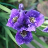Bleu de fleur d'iris photos stock