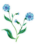Bleu de fleur de Cornflower Photo libre de droits