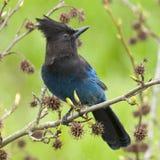 Bleu de Jay Steller Image stock