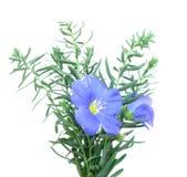 Bleu de lin textile (Linum) Photos stock