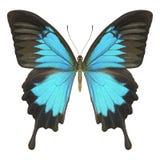 Bleu de papillon image stock