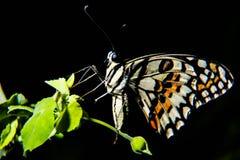 Bleu de papillon Photos libres de droits