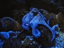 Bleu de poulpe teinté Photographie stock libre de droits
