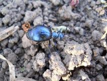 Bleu de scarabée Photographie stock