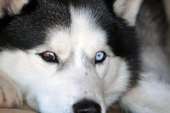 Bleu et chien de traîneau sibérien observé par Brown Photographie stock