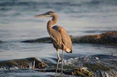 Bleu grand heron3 Photographie stock