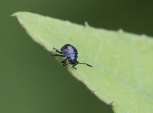 Bleu l'insecte prédateur (caerulea de Zicrona). photographie stock libre de droits