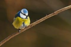 Bleu pelucheux Photographie stock