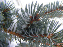 Bleu pine. A branch of bleu pine Royalty Free Stock Photos