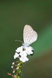 Bleu pygméen d'herbe Images stock