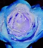 Bleu roose Stockbilder