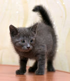 Bleu russe de chaton gris Photo stock