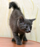 Bleu russe de chaton gris Photos stock