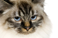 Bleu-tabby-point Birman (18 mois) Images stock