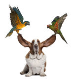 Bleu throated Macaw and Golden capped parakeet. Pulling up the ears of Basset Hound sitting against white background Stock Photography