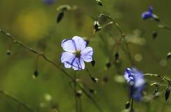 Bleue wild flower Stock Image