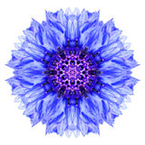 Bleuet bleu Mandala Flower Kaleidoscope Isolated sur le blanc Photographie stock libre de droits