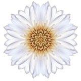 Bleuet concentrique blanc Mandala Flower Isolated sur la plaine images stock