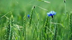 Bleuet dans le domaine de blé image libre de droits