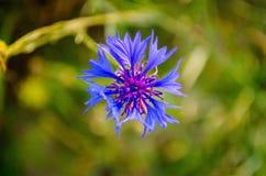 Bleuet de fleur Image libre de droits