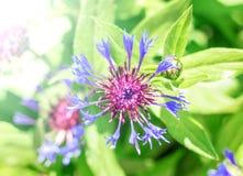 Bleuet de floraison de jardin images libres de droits