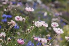 Bleuet rose Photographie stock libre de droits