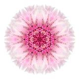Bleuet rose Mandala Flower Kaleidoscope Isolated sur le blanc Photos stock