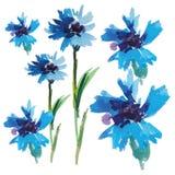 Bleuets bleus d'aquarelle de vecteur Photos stock