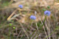 Bleuets bleus dans la forêt d'automne Photos libres de droits