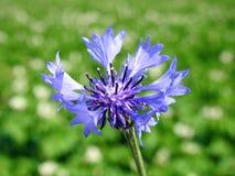 Bleuets bleus dans le domaine, Lithuanie Image stock